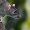 Крысы в мегаполисах проблема без решения