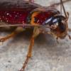 От тараканов не избавиться химическими веществами